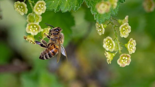 Arı sokması alerjisi olan kişilerde ölümcül olabiliyor