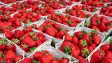 Çilek ihracatında yüzde 333'lük artış