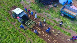 Datça'da hasadı başlayan turfanda patates üreticisini sevindirdi