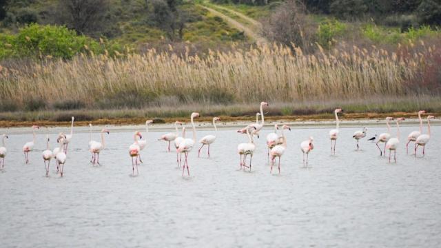 Tarihi Gelibolu Yarımadası flamingoları