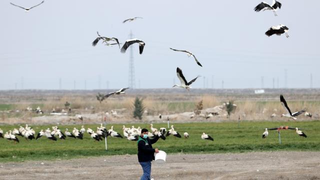 Konyada tarlalardaki göçmen leylekler balıkla besleniyor