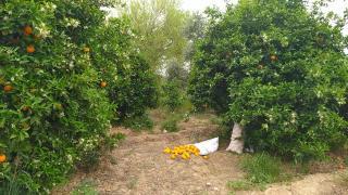 Adana'da portakal baçesinde hırsızlık: 1 kişi yakalandı