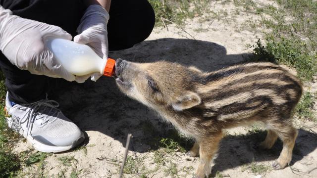 Afyonkarahisarda üniversite öğrencileri kırsalda bulunan yaban domuzu yavrusunu biberonla besliyor