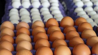 Damızlık yumurta, ihracatı artırdı