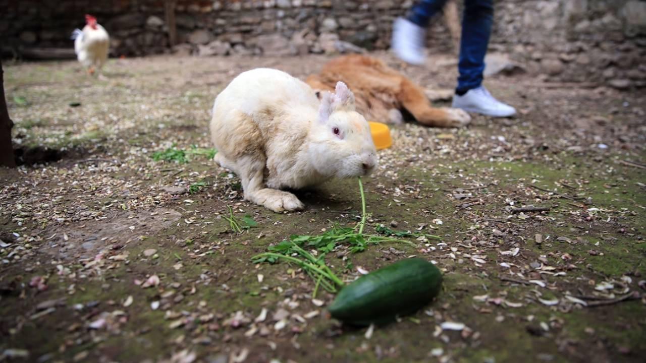 Sahiplenilen tavşan Zulu'nun hikayesi