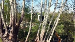 1100 yıllık çınar ağacı bakıma alındı