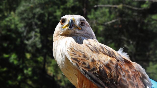 Manisada yaralı şahin tedavisinin ardından doğaya salındı