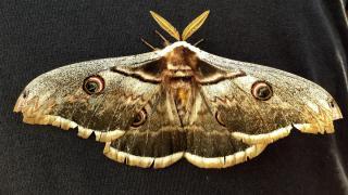 Osmaniye'de 16 santimlik tavus kelebeği bulundu