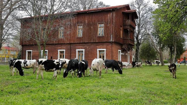 Üniversitenin çimlerini inekler biçti