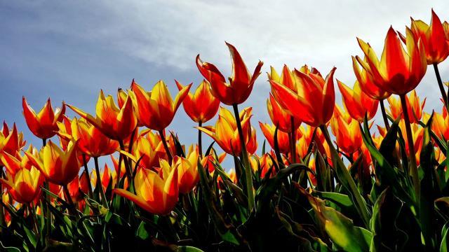 Konyada laleler çiçeklendi