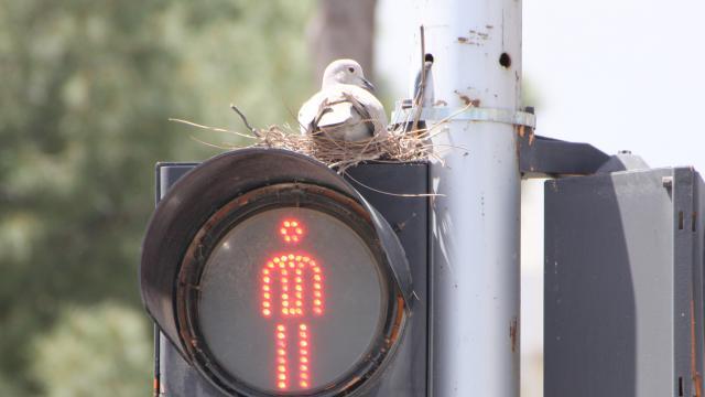 Antalyada yuva olarak trafik ışığı direğini seçen kumru ilgi çekiyor
