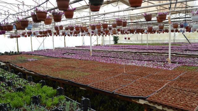 Yalovada çiçek sektöründe üretim hareketliliği başladı