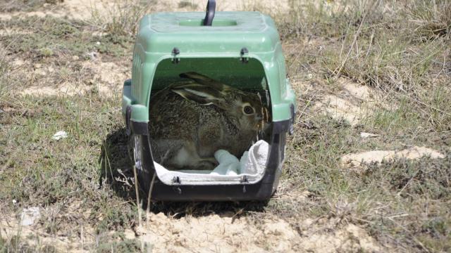 Afyonkarahisarda tedavileri tamamlanan iki yırtıcı kuş ile kır tavşanı doğaya salındı