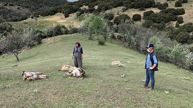 Uşakta merada otlayan 80 koyun telef oldu