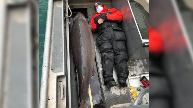 ABDde asırlık ve 109 kiloluk mersin balığı yakalandı