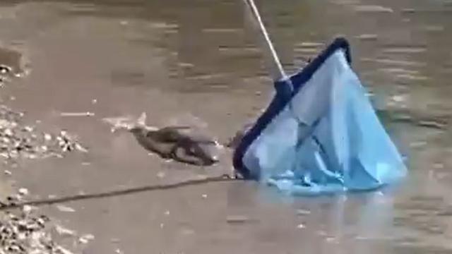 Balon balıkları Alanya sahiline vurdu