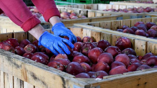 Çorumda 80 dönüm alanda elma bahçesi kurdu şimdi 14 ülkeye ihracat yapıyor