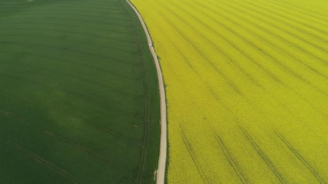 Kanola tarlaları buğdayın yeşiliyle buluştu