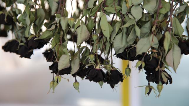 Halfetinin tescilli karagülünde hasat zamanı