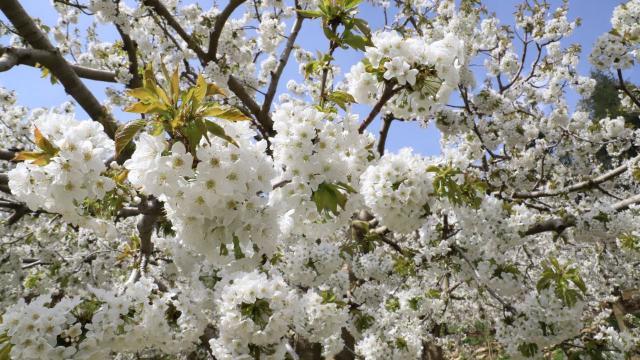 Andırın, kiraz ağacı çiçekleri
