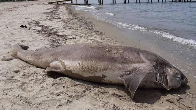 Kuşadasında sahile ölü köpek balığı vurdu
