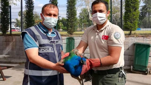 Osmaniyede tavus kuşu çalan 2 kişiye gözaltı