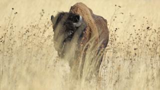 ABD'de bizon avı kampanyası: 45 bin kişi başvurdu