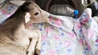 Hastalanan yavru buzağıyı otomobilin bagajında veterinere götürdü