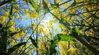 Kızılırmak Deltası çiçeklerle renklendi