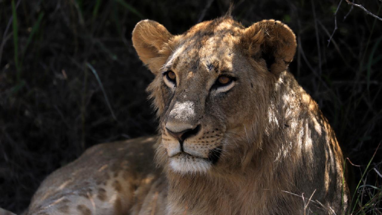 Kenya'da vahşi doğadaki tüm canlılar tek tek sayılmaya başlandı