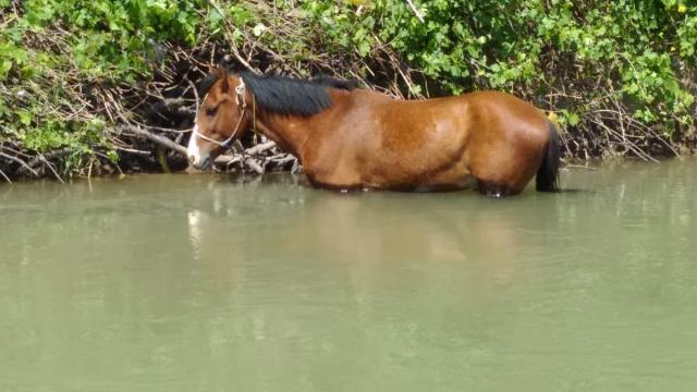 Çayda mahsur kalan atlar itfaiye ekipleri tarafından kurtarıldı