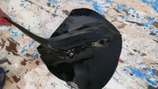 Nesli tükenmekte olan mor vatoz oltaya takıldı