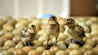 Doğaya salınacak sülünler yumurtadan çıkmaya başladı