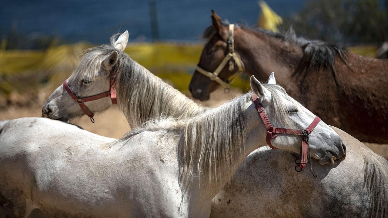 Adalar'daki kayıp atların akıbeti belirsiz