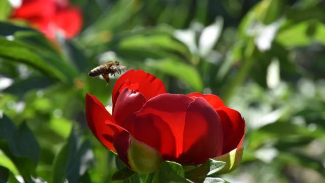 Kırmızı şakayıkların açmasıyla arıların nektar mesaisi başladı