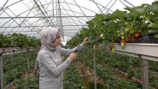 Serada topraksız tarım yöntemiyle çilek üretiyorlar