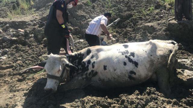 Bataklığa saplanan inek iş makinesiyle kurtarıldı