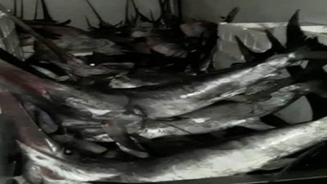 Avlanma boy sınırı altındaki 12 kılıç balığına el konuldu