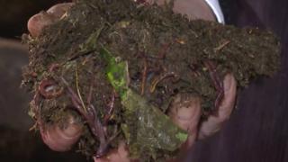 Kırmızı Kaliforniya solucanları atıkları gübreye dönüştürüyor