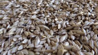 Buğdayın atası siyeze 2 yeni tescil