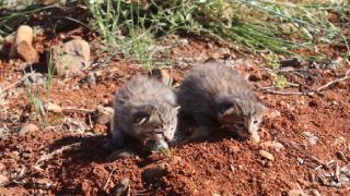 Tarlada yaban kedisi yavruları bulundu