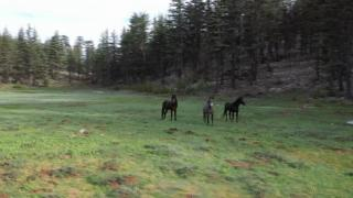Özgürlüğün tadını çıkaran yılkı atları Toroslar'da görüntülendi