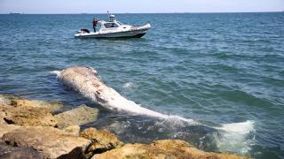 8 metrelik balina kıyıya vurdu