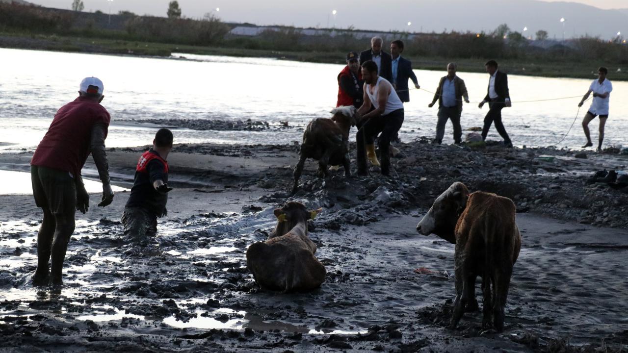 Nehir kenarında çamura saplanan 17 büyükbaş hayvan kurtarıldı