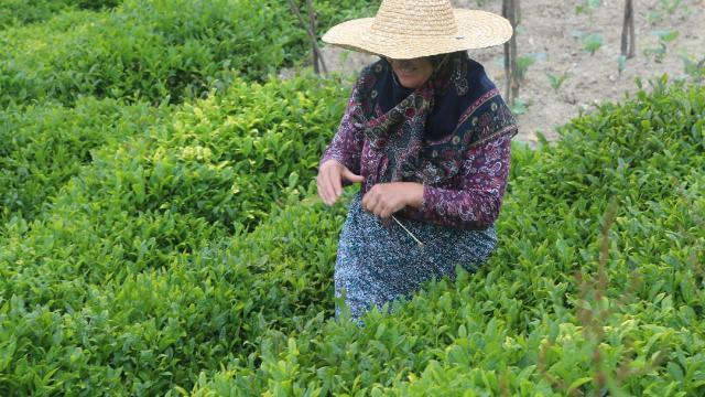 Doğu Karadenizde çay hasadı 17 Mayısta başlayacak