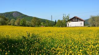 İnebolu'da tarlalar sarıya boyandı