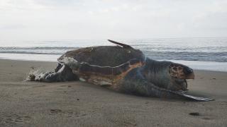 Kıyıya yakın atılan ağlar, kaplumbağaların ölümüne sebep oluyor