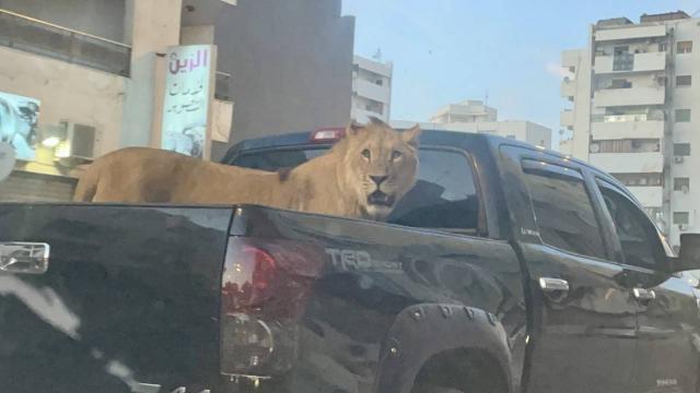 Araç kasasında gezdirilen aslan görenleri şaşırttı