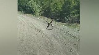 Tavşanların kavga anı kamerada