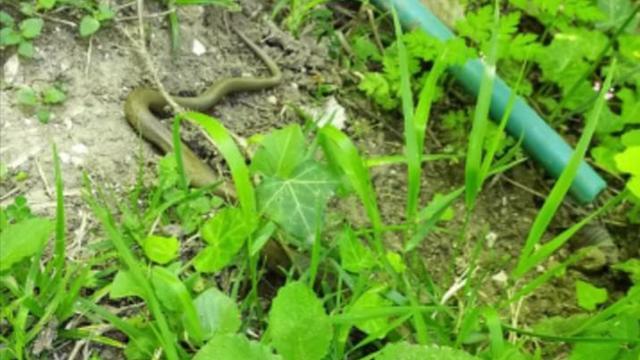 Orduda fındık bahçelerinde yılanlar görülmeye başladı